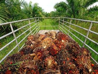 Palmölfrüchte auf LKW