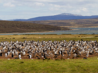 Pinguinkolonie Falkland Islands