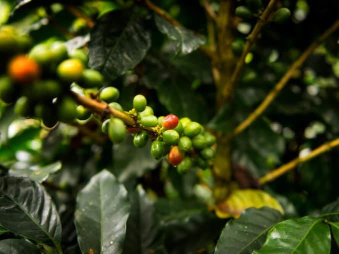 Detail einer Bio- Kaffeepflanze