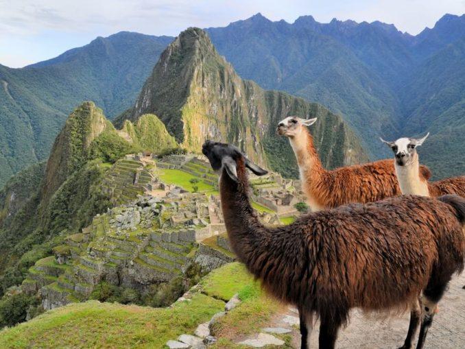 Lamas in den Anden in Machu Picchu