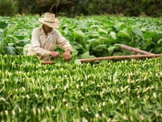 Tabakbauer auf Tabak-Farm