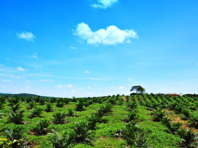 Palm-Öl Plantage