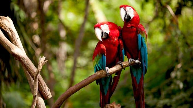 Hellrote Aras im Regenwald des Amazonas
