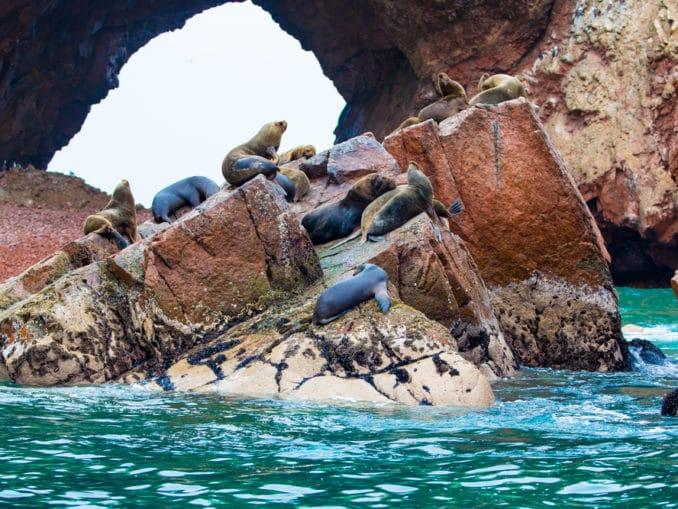 Südamerikanische Seelöwen