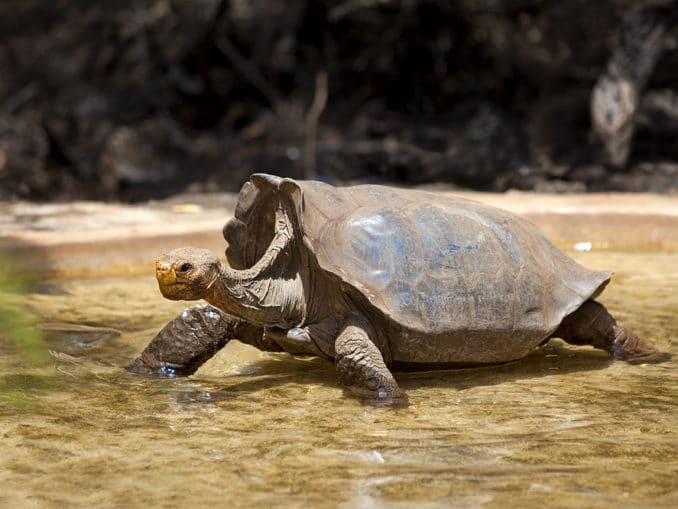 Galapagos Schildkröte